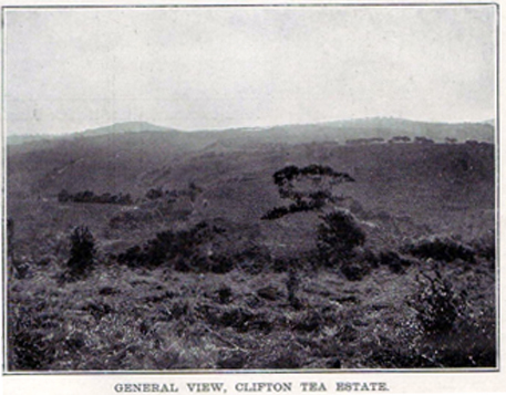 clifton tea estate