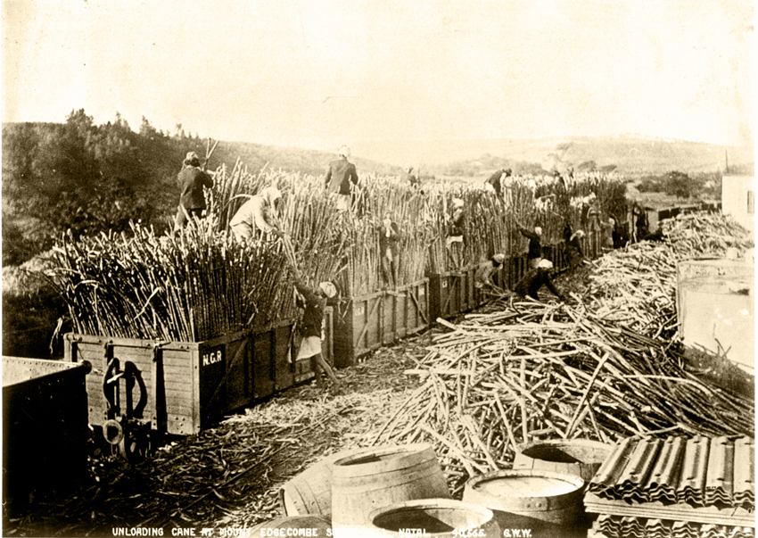 Indentured workers loading sugarcane for railway transport, early 1900s, picture credit 1860 Heritage Centre
