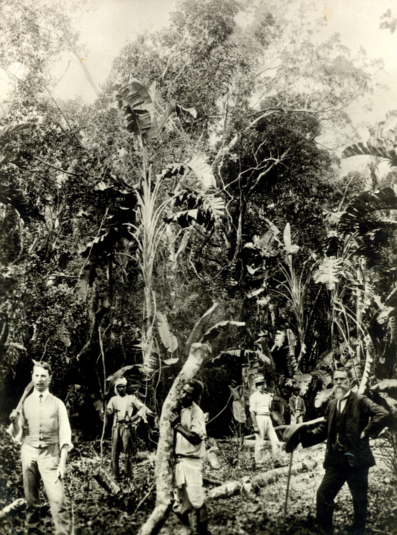 Plantation owners clearing 'virgin' territory, early 1900s picture credit 1860 Heritage Centre